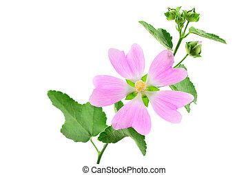 marsh-mallow, officinalis, aussi, aromate, isolé, marshmallow., plant., althaea, marais, arrière-plan., mauve, médicinal, blanc, ou, commun
