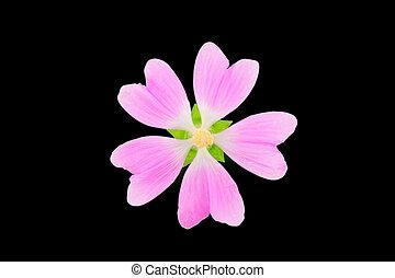 marsh-mallow, officinalis, aussi, aromate, isolé, marshmallow., plant., althaea, noir, arrière-plan., mauve, médicinal, marais, ou, commun