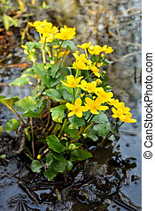 Marsh Marigold (Caltha palustris) flowers