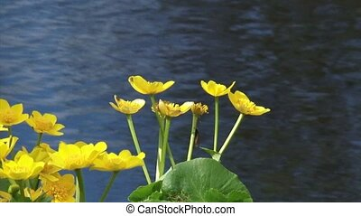 Marsh Marigold, Caltha palustris yellow flowers - pond in background