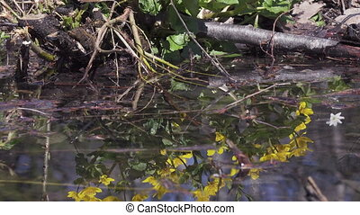 Marsh Marigold Caltha palustris, yellow spring flowers,...