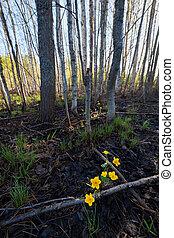 Marsh-marigold flower in forest