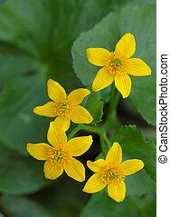Marsh Marigold Flower