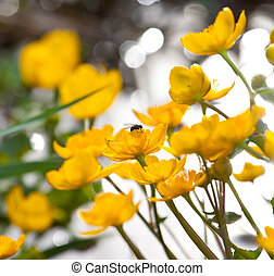 marsh marigold flowers with a fly