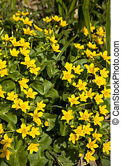 Marsh Marigold - marsh marigold Caltha palustris wild flower...