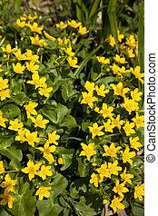 Marsh Marigold - marsh marigold Caltha palustris wild flower...