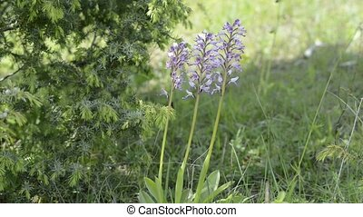 Marsh orchids on a meadow in Germany on the UNESCO biosphere...