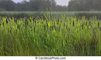 Marsh reed close up