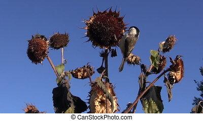 Marsh tit eating sunflower seeds