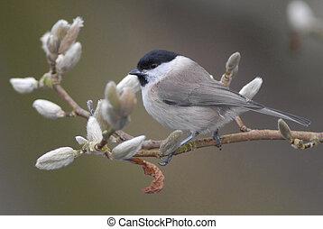 Marsh tit in magnolia tree - Marsh tit (Poecile palustris)