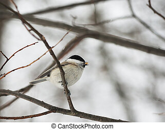 Marsh tit in the forest