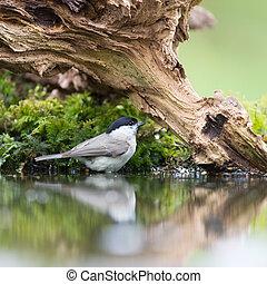 Marsh tit in tree