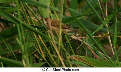 marsh warbler - Acrocephalus palustris