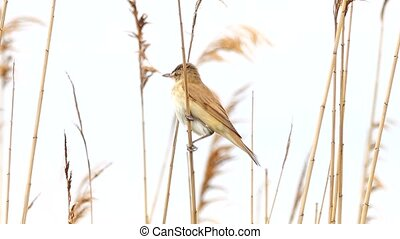 Marsh Warbler sing near his nest