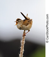 MARSH WREN  SMITH ISLAND  EVERETT WASH.