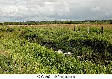 Marshland swans.