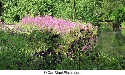 Marshland with Columbine and Ragged Robin in bloom -...