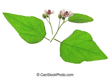 Marshmallow (Althaea officinalis) flowers and leaves against a white background isolated