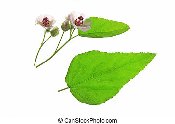 Marshmallow (Althaea officinalis) flowers and leaves against a white background