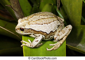Marsupial frog (Gastrotheca riobambae) - female with full...