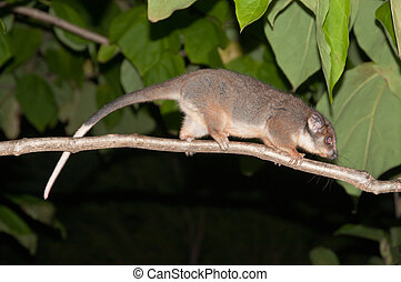 Marsupial - The view of a possum moving across a tree...