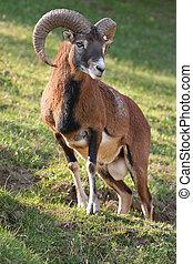 marteau,  mouflon