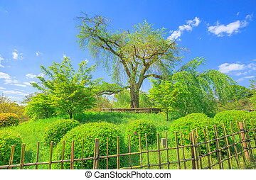 Maruyama Park cherry tree - A large shidarezakura or weeping...