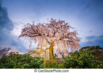 Maruyama Park in Kyoto, Japan during the spring cherry ...