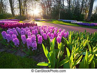 Marvellous hyacinth flowers in the Keukenhof park, used as...
