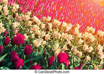 Marvellous red and white tulips in the Keukenhof gardens,...