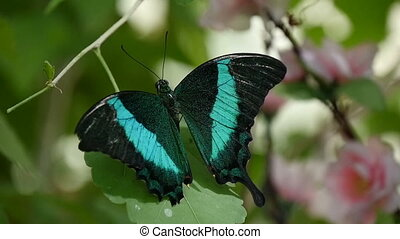 Marvelous black and blue moth-butterfly is shot up down in a forest in summer