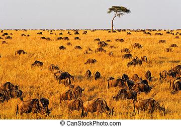 masai, übersiedeln, wildebeest, mara
