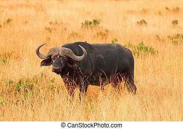 masai, büffel, mara