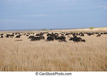 masai, büffel, mara, weiden, herde