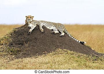 masai, gepard, mara