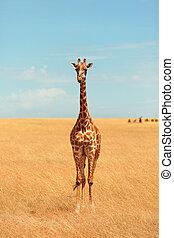 masai-giraffe, mara