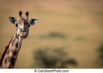 Masai giraffe poking long neck into frame