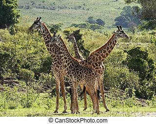 masai giraffes in kenya 2