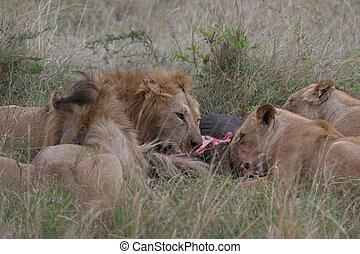 (masai, herbe, groupe, mara, national, pose, élevé, lions, ...