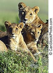 masai, leoni, mara