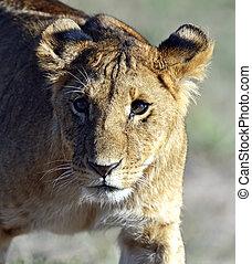 masai, lions, mara