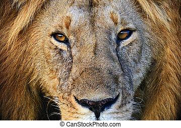 masai, loewen, mara