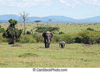 masai mara, éléphants