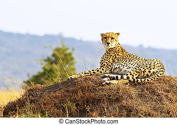 Masai Mara Cheetah - A cheetah (Acinonyx jubatus) on the ...