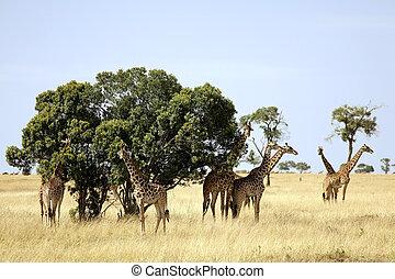 masai mara, girafes