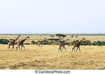masai mara, giraffen
