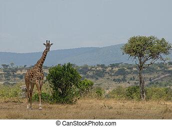 masai mara, girrafes