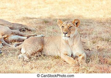 masai mara, löwin