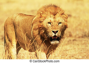 Masai Mara Lion - A lion (Panthera leo) on the Masai Mara ...