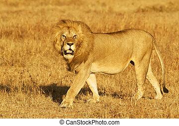 masai mara, lion